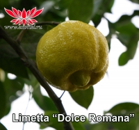 "Limetta ""Dolce Romana"""