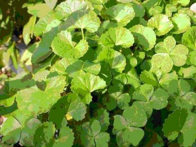 Центелла азиатская, Centella asiatica, Готу Кола