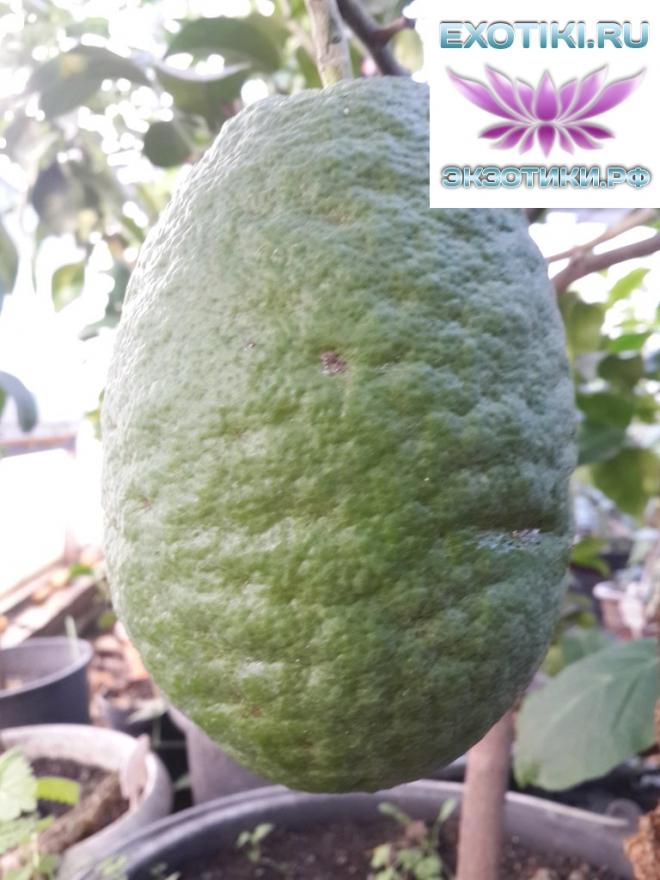 Citrus medica Maxima