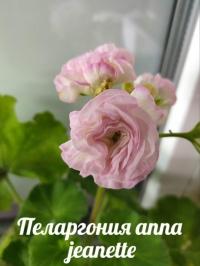 Пеларгония anna jeanette на фото первое цветение моего кустика