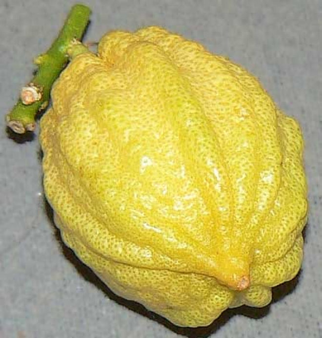c.limon canaliculata,