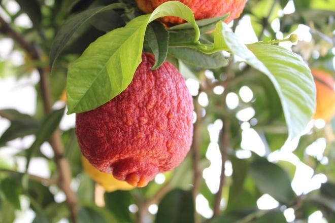 c limonimedica Pigmentata, Citrus limon Rosso