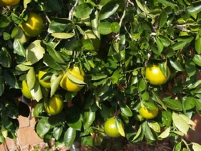 Mapo - Citrus tangelo