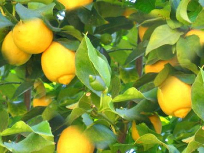 Лимон Безколючковый