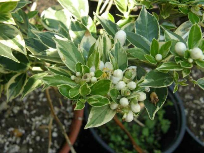 "Citrus myrtifolia ""Chinotto variegata"""