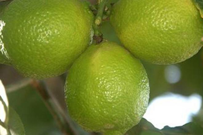 Citrus limon Dorshapo
