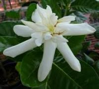 Gardenia taitensis 'Heaven Scent' (Compact) -круглый лист