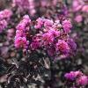 Lagerstroemia indica (фиолетовый цветок и черный лист )