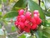 Syzygium fibrosum ( Австралия-большая редкость)