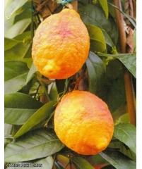 Citrus pink lemon, розовый лемон