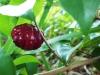 Eugenia spicy pitanga-редкость