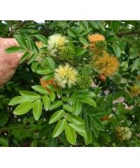 Pararchidendron pruinosum SNOW WOOD