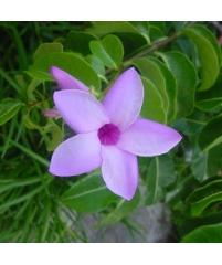 Криптостегия мадагаскарская, резиновая лиана