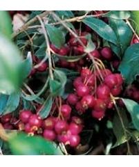 Eugenia Myrtifolia (Евгения миртолистная)