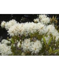 Melaleuca linariifolia, Мелалеука Льнянколистная, Австралийское Чайное Дерево