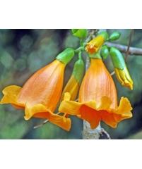 Радермахера hainanensis