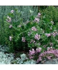 Пеларгония attar of roses