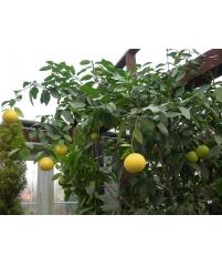 Slava Michurina-апельсин