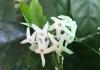 Atractocarpus benthamianus
