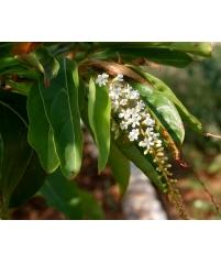 Цитарексилум (цветы ароматные)