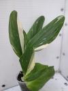 "Philodendron standleyana variegata ""Cobra"""