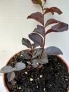 Lagerstroemia indica двухцветная -растение с фото