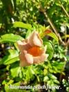 Allamanda peach flower