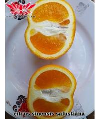 citrus sinensis salustiana