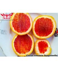 Sanguinello Citrus Sinensis