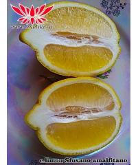 Sfusato amalfitano C. Limon