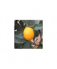 """Citrus limon """"Florentina"""""""