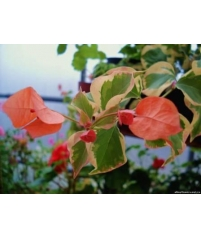 Бугенвиллия Lila variegata