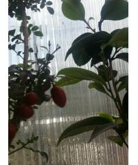 Муррайя карликовая -c крупными ягодами