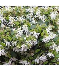 Лоропеталум с белыми цветами