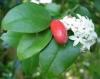 Сarissa bispinosa-карисса