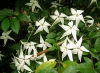 Рандия формоза-Randia formosa