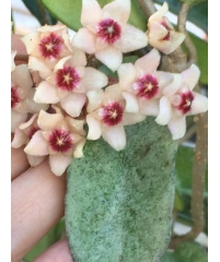 Hoya Carnosa Grey Ghost