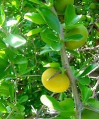 Тропический абрикос Dovyalis caffra (женское растеие)