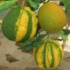 bizzarria variegata