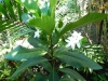 Atractocarpus bracteatus  (Новинка -редкость) -фото инет