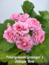 Pelargonium Grainger's Antique Rose