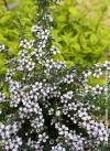Leptospermum scoparium nana huia