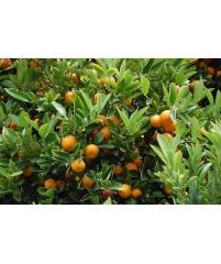 Orange 'Newhall' Citrus sinensis, апельсин