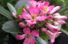 Escallonia pink