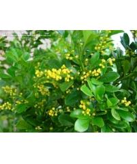 Aglaya Wavy leaf (big leaf)