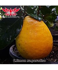"Лимон ""Липо""  \ Лимон ""Империал""  \ C. Imperial lemon (gigante) C. limon x C paradisi"