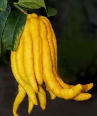 Рука будды