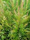 Austromyrtus dulcis Copper Tops