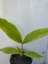 Syzygium jambos 'Lemonlime' -редкий в коллекции