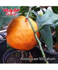 c.aurantium Virgatum